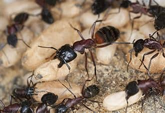 a colony of carpenter ants at a new york home