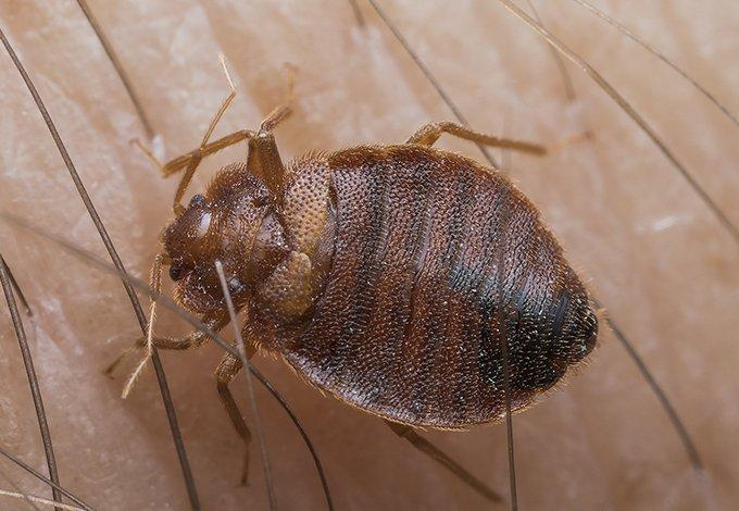 a bed bug crawling on skin biting in cedarhurst