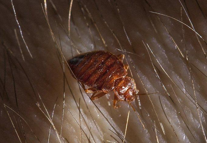 a bed bug crawling on skin in dobbs ferry