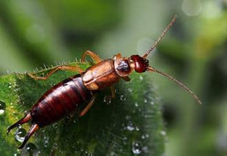 an earwig crawling outside a home in white plains