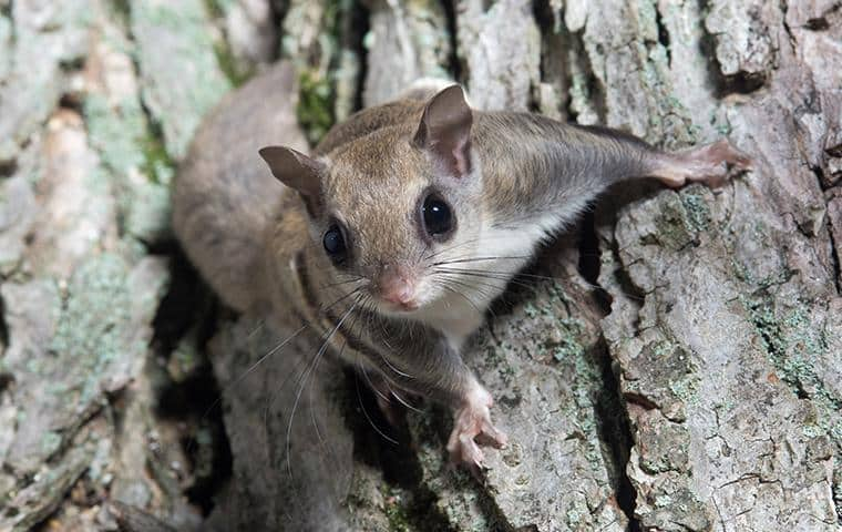 a flying squirrel on a tree on long island