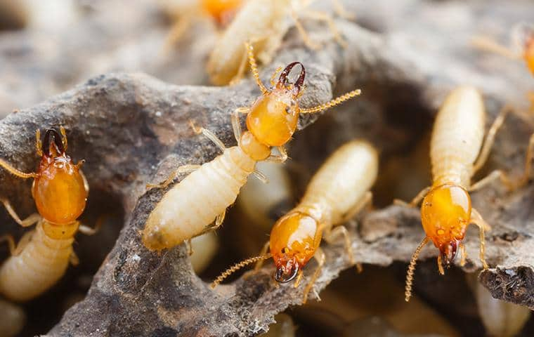 termites foraging around a long island home