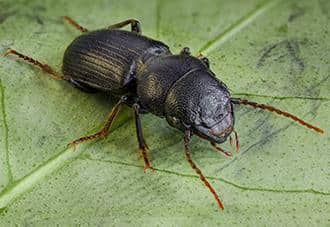 a ground beetle crawling on a property in the bronx