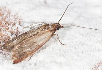 an indian meal moth in a new york residence