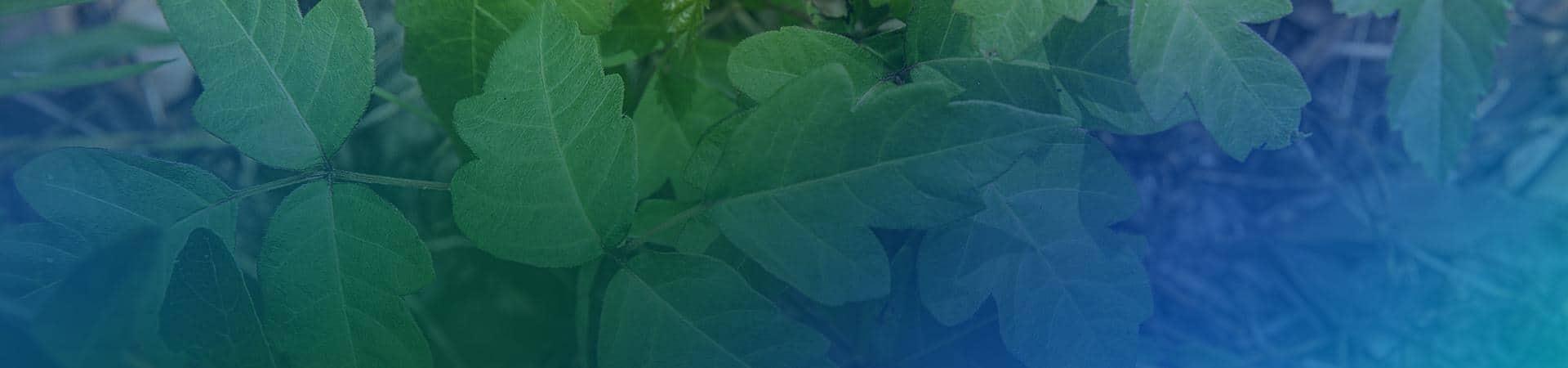 poison ivy in new york