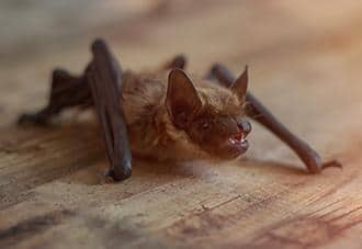 a little brown bat crawling inside a home in queens