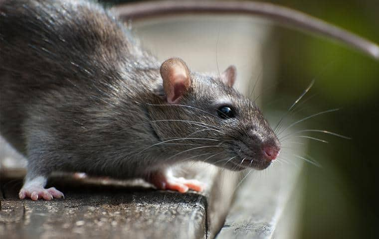 a rat on the step of a long island building