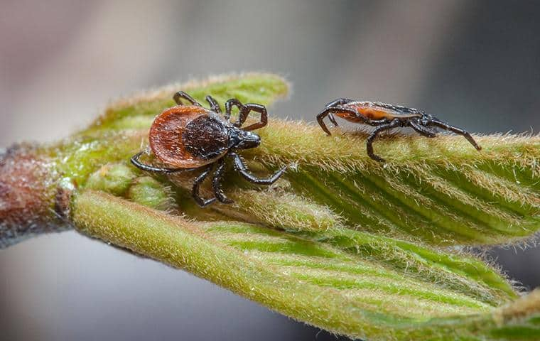 ticks on a leaf in long island waiting for host