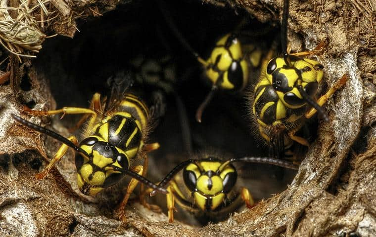 a group of wasps emerging from nest on long island