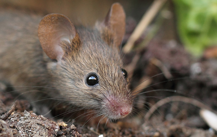 up close image of a mouse