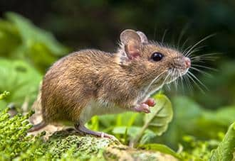 a mouse on a lawn in westchester county