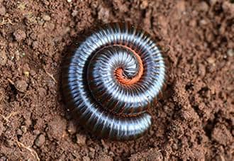 a millipede curled up on a property in new york