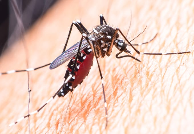 a mosquito biting the skin of a north new hyde park new york resident