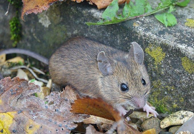 mouse crawling in leaves