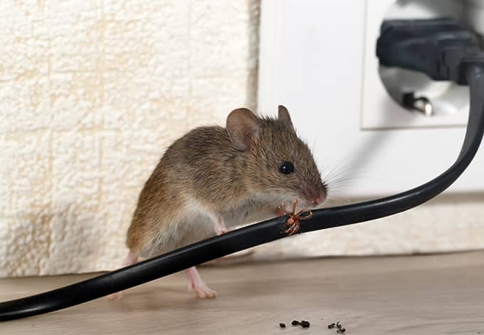 mouse chewing electrical cord in ny home
