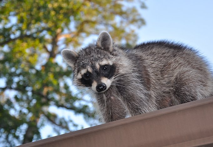 a raccoon on a roof of a building in hastings on the hudson