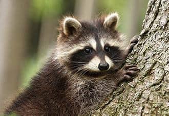 a raccoon climbing a tree outside a staten island home