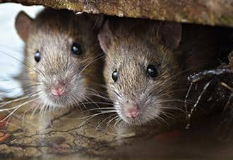 two rats inside of a home in new york