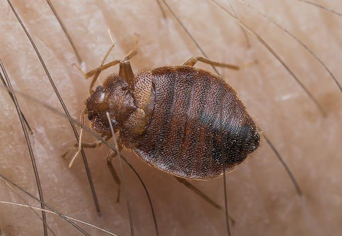 a bed bug crawling on skin biting in rye brook new york