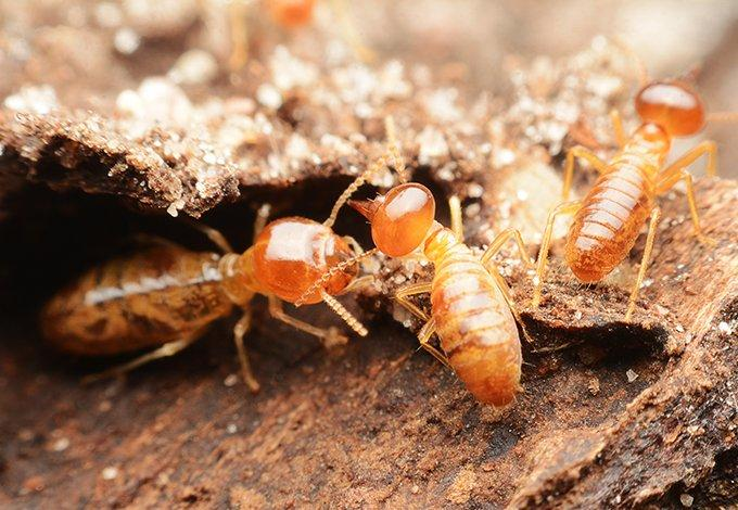 termites damaging wood in sleepy hollow new york