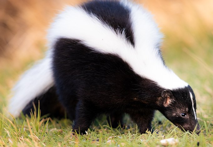 a skunk in a sleepy hollow new york yard