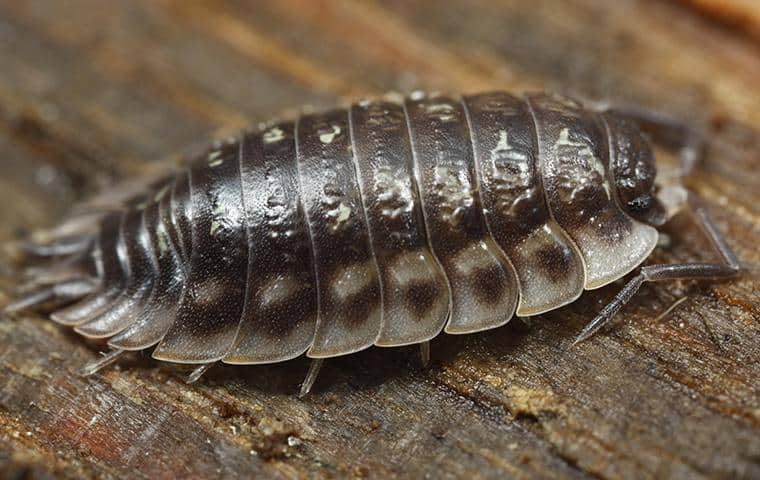 a sow bug in nassau county new york