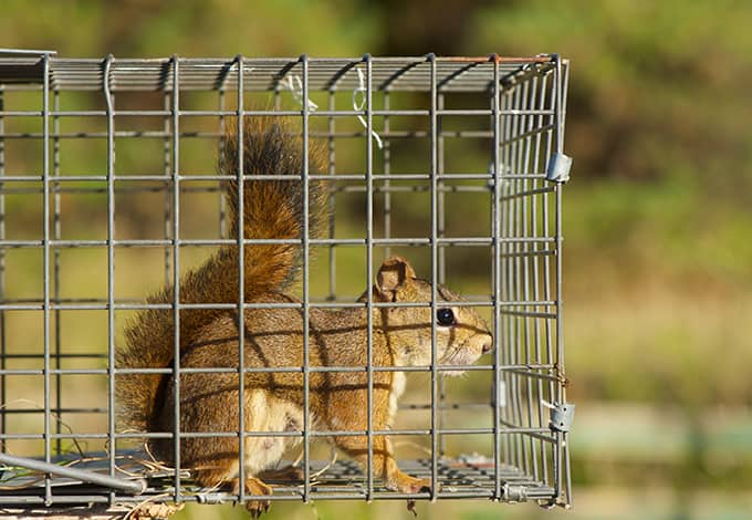 squirrel secure in a trap to be moved safely