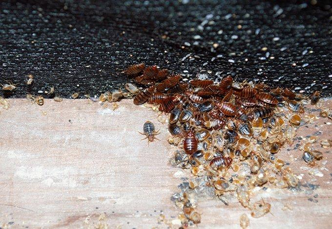 bed bugs crawling on furniture in tarrytown new york
