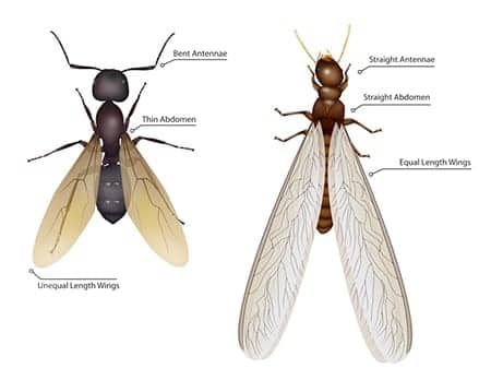 an illustration of a termite swarmer next to a flying ant