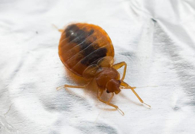 a bed bug crawling on fabric in vista new york