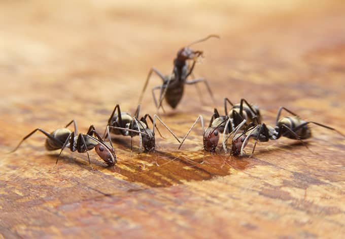 group of carpenter ants eating sugary liquid