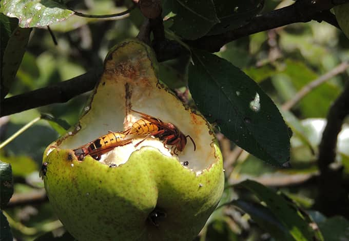 hornets on an apple in a ny yard