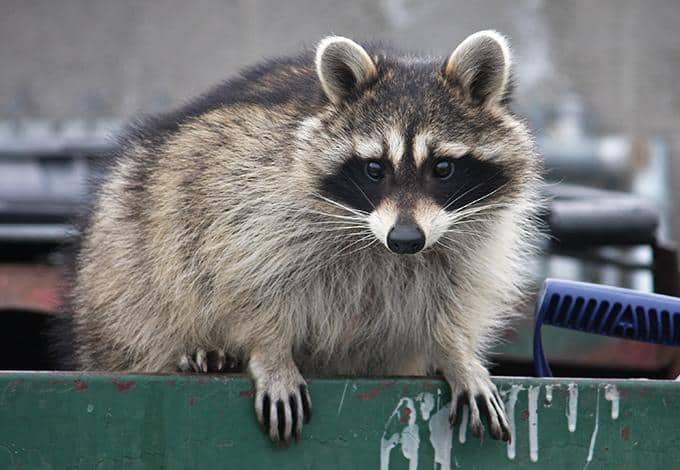 raccoon in dumpster in westchester county ny