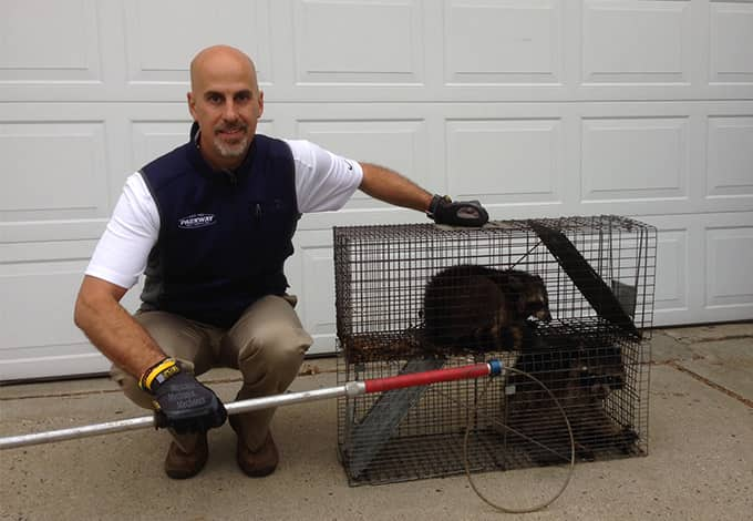 long island wildlife removal pro with trapped raccoons