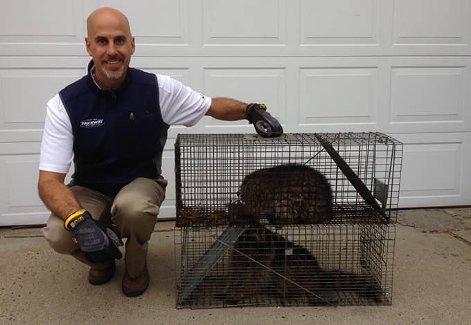 owner peter scala with humanely trapped raccoons in white plains