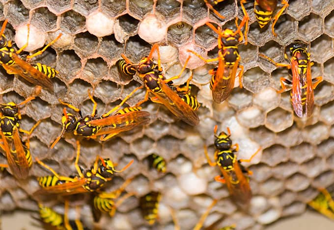 yellow jackets working on their nest