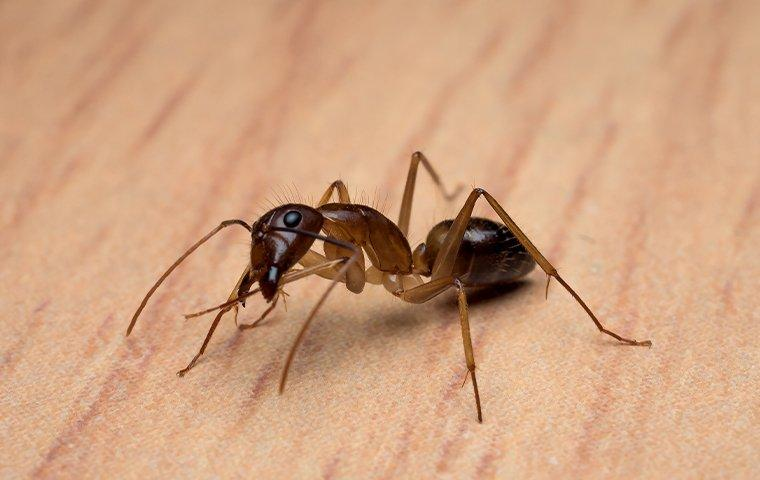 carpenter ant on wooden table