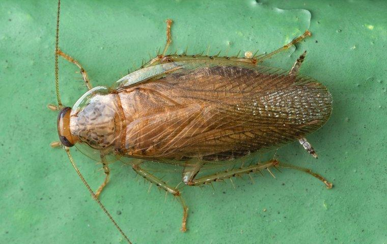 a german cockroach on green table top
