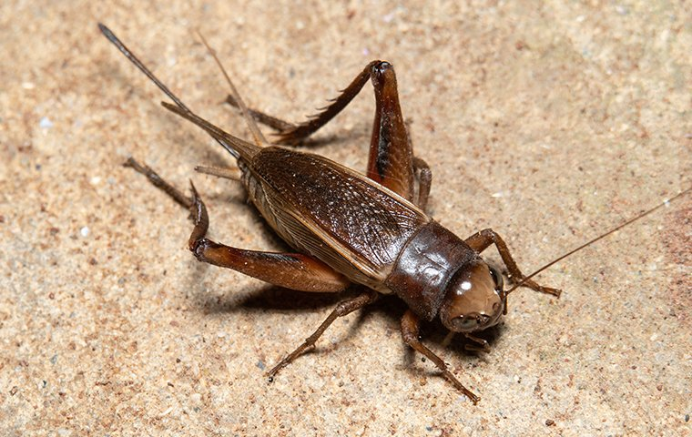 a house cricket crawling on a kitchen wall