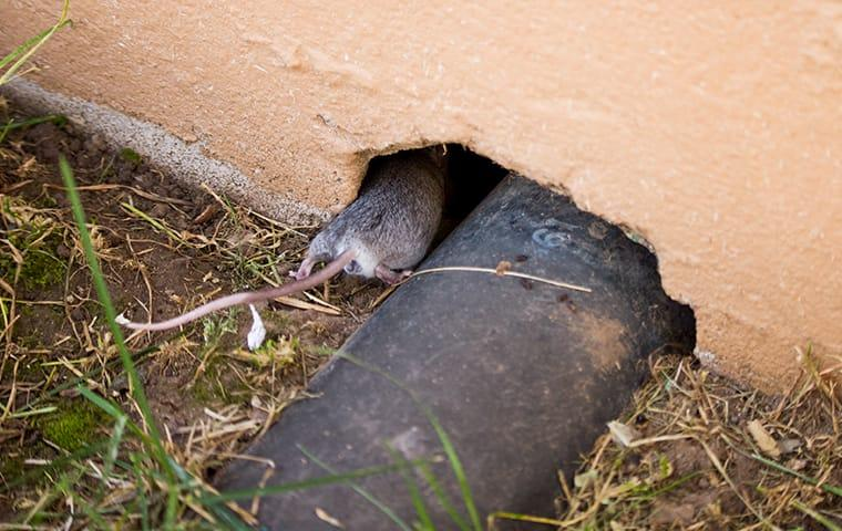 a rodent going into a home