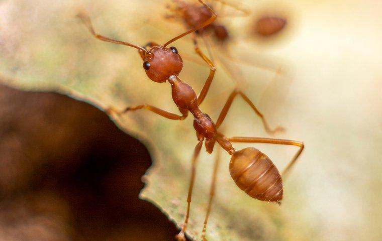 red fire ant crawling on a leaf