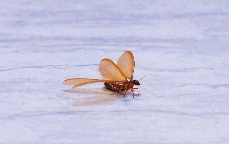 a termite swarmer on tile flooring