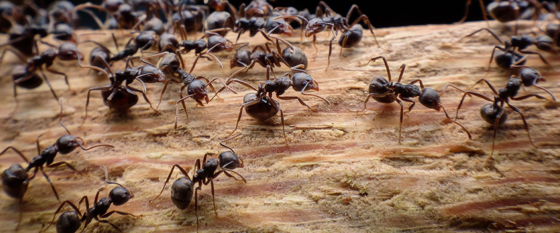 carpenter ants on damaged wood