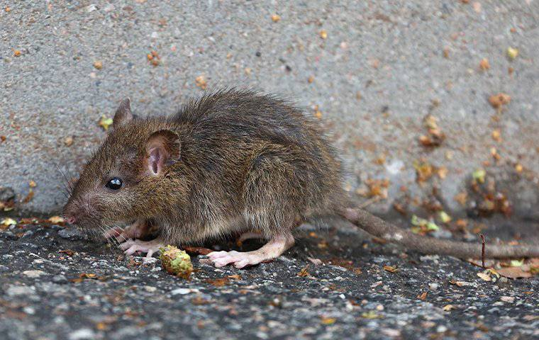 a baby rat outside