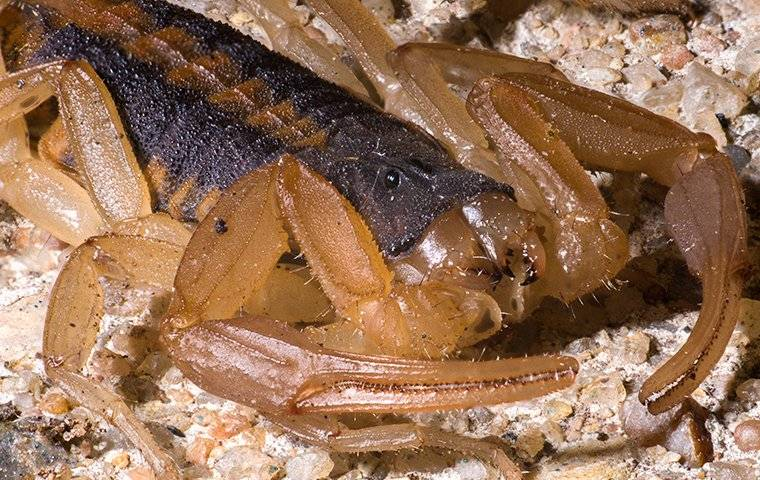 a bark scorpion crawling on the ground