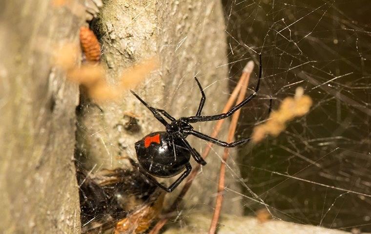 black widow making a web