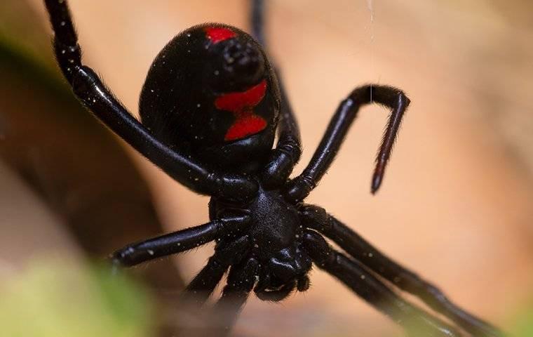 a black widow spider crawling in a garden