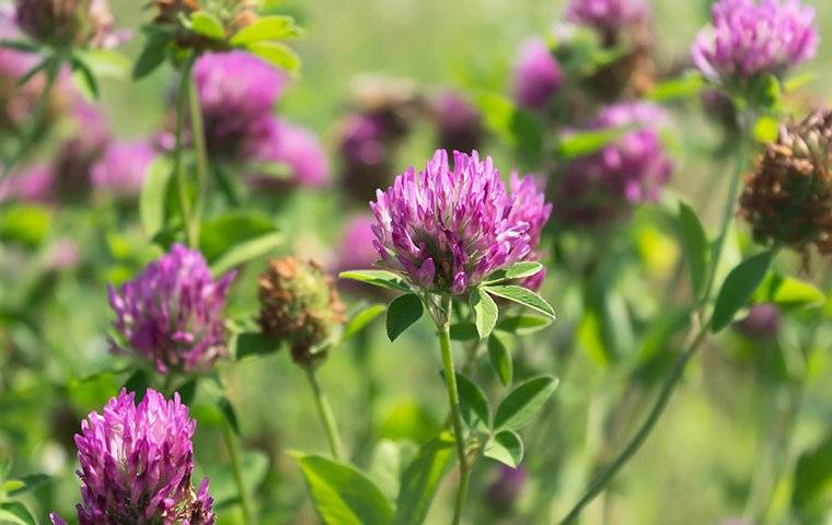 purple clover weeds in a lawn