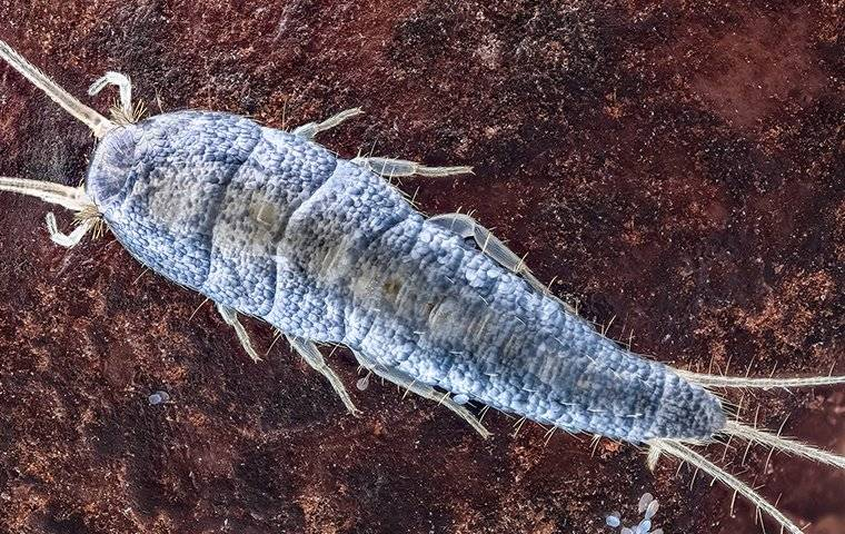 up close image of a silverfish crawling on a bathroom floor