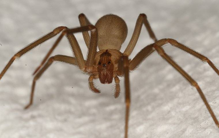 a brown recluse spider crawling on the floor in a home